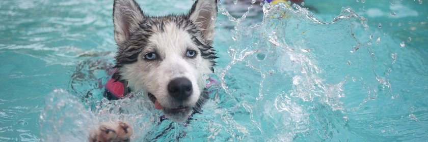 Husky swims in an inground pool